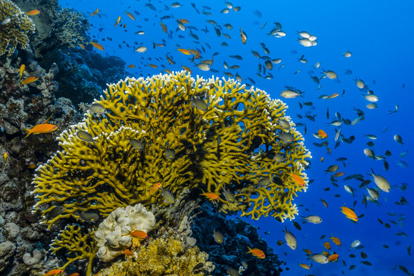 Fire Coral, Red Sea, Egypt