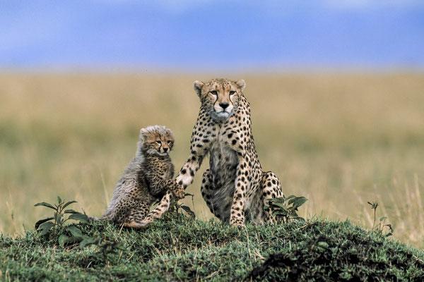 Cheetahs (Acinonyx jubatus), Masai Mara, Kenya