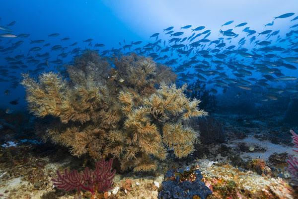 Black Coral, Raja Ampat, Indonesia