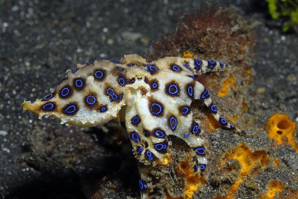 Blue Rig Octopus (Hapalochlaena sp.), Lembeh Strait, Indonesia