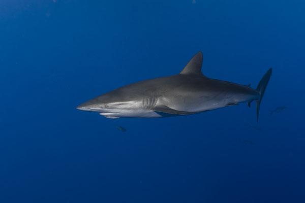 Silky Shark (Carcharhinus falciformis), San Benedicto, Mexico