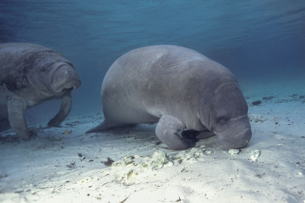 West Indian Manatee (Trichechus manatus), Crystal River, Florida