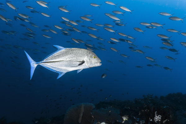 Bluefin Trevally (Caranxmelampygus), Raja Ampat, Indonesia