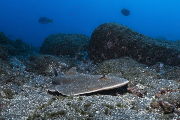 Pacific Electric Ray (Tetronarce californica), San Benedicto, Mexico
