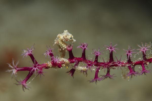 Pygmy Seahorse (Hippocampus satomiae), Raja Ampat, Indonesia