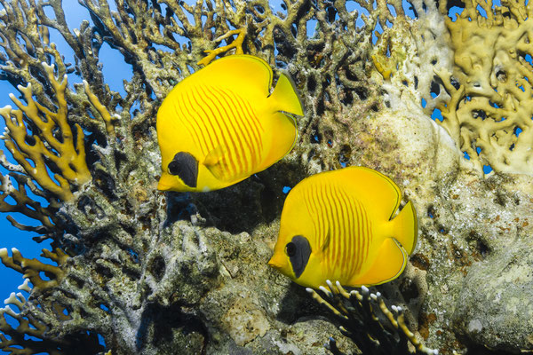 Red-lined Butterflyfish (Chaetodon semilarvatus), Red Sea, Egypt