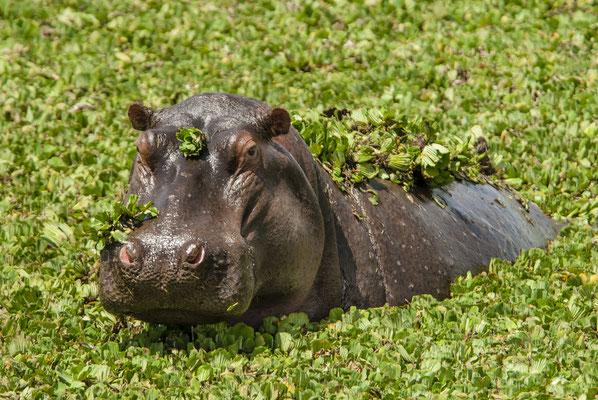 Hippopotamus (Hippopotamus amphibicus), Masai Mara, Kenya
