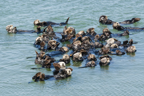 Sea Otters  (Enhydra lutris), Moss Landing, California