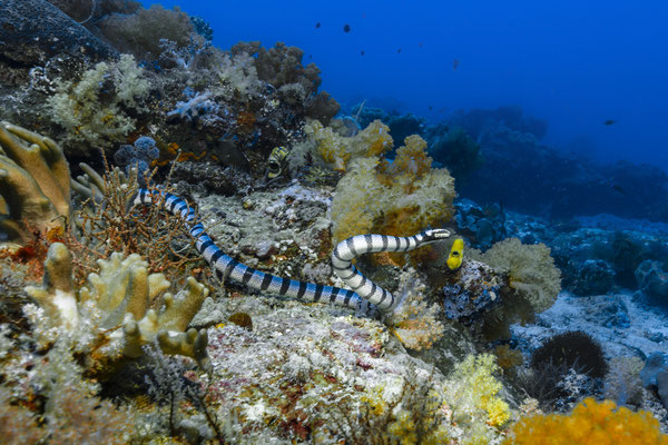 Black-banded Sea Krait (Laticauda semifasciata), Raja Ampat, Indonesia
