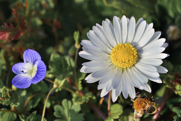 Common Daisy (Bellis perennis) & Slender Speedwell (Veronica filiformis), Heidelberg, Germany