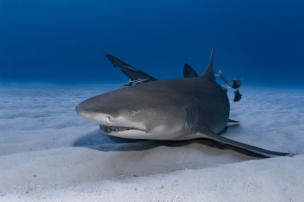 Lemon Shark ( Negaprion brevirostris), Bahamas