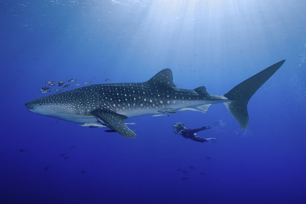 Whale Shark (Rhincodon typus), Red Sea, Egypt