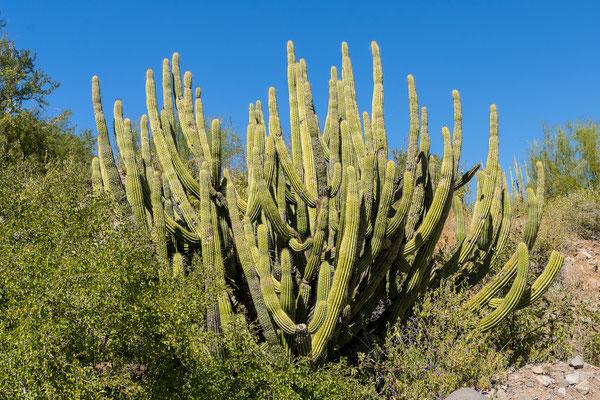 Cardon Cactus (pachycereus-pringlei), Baja California, Mexico