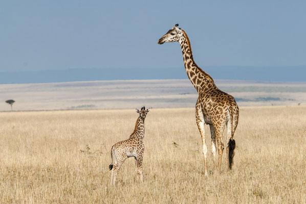 Giraffe (Giraffa camelopardalis), Masai Mara, Kenya