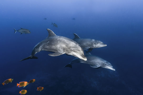 Bottlenose Dolphins (Tursiops truncatus), Revillagigedos Islands, Mexico