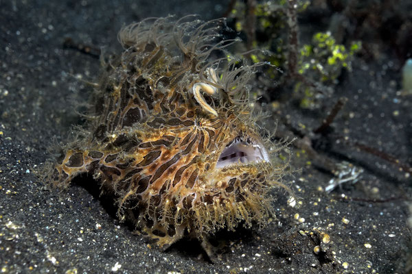 Hairy Frogfish (Antennarius striatus), Lembeh Strait, Indonesia