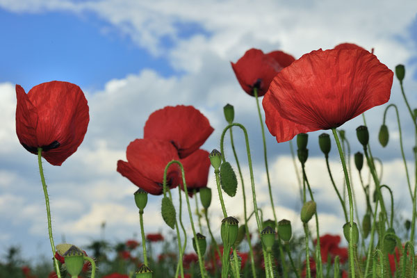 Red Poppy (Papaver rhoeas), Heidelberg, Germany