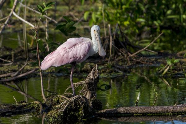 Roseate Sponbills (Platalea ajaja), Florida, USA