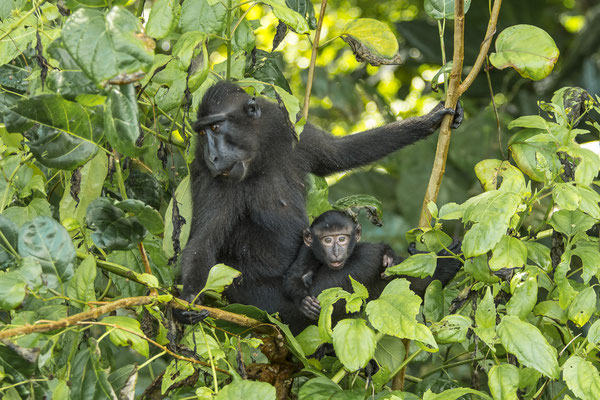 Black crested Macaques (Macaca nigra), North Sulawesi, Indonesia