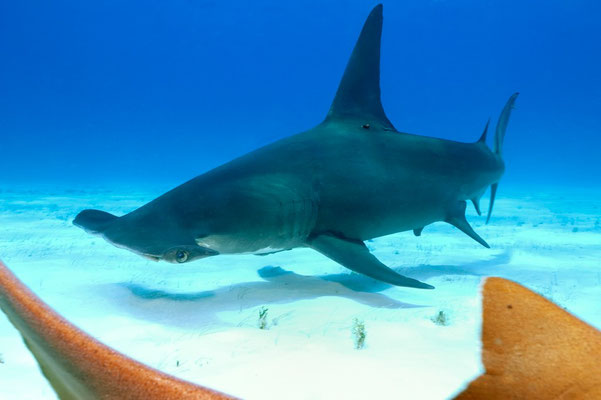 Great Hammerhead Shark ((Sphyrna mokarran)