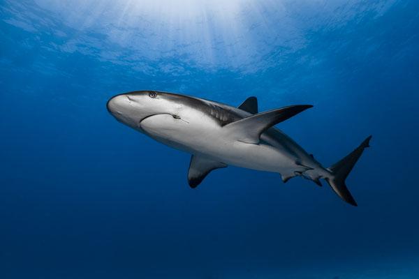 Caribbean Reef Shark (Carcharhinus perezi), Bahamas