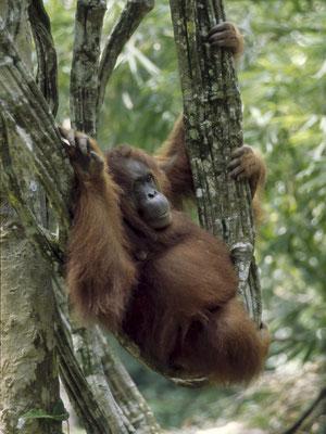 Orang Utan (Pongo pygmaeus), Borneo, Malaysia