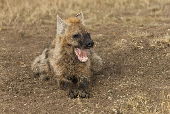 Spooted Hyena (Crocuta crocuta), Masai Mara, Kenya