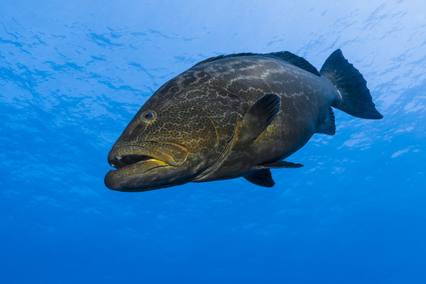 Black Grouper (Mycteropereca bonaci), Caribbean Sea, Bahamas