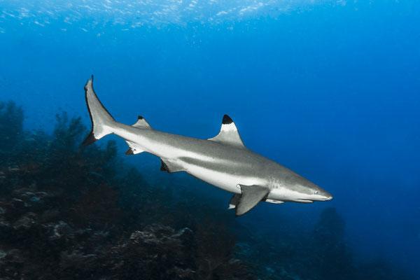 Blacktip Reef Shark (Carcharhinus melanopterus), Raja Ampat, Indonesia