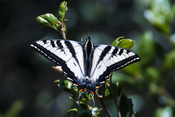 Western Tiger Swallowtail (Papilio rutulus), California, USA
