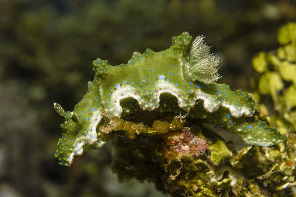 Miamira sinuata, Ambon, Indonesia