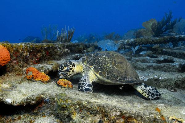 Hawksbill Turtle (Eretmochelys imbricata), Bahamas