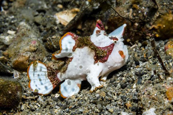 Warty Frogfish juvenile (Antennarius maculatus), Ambon, Indonesia