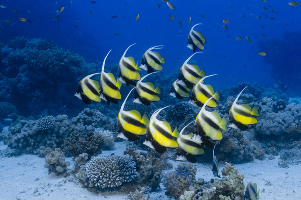Longfin Bannerfish (Heniochus acuminatus), Red Sea, Egypt