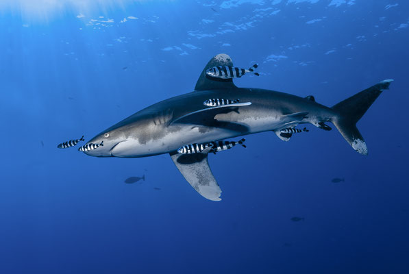 Oceanic Whitetip Shark (Carcharhinus longimanus), Red Sea, Egypt