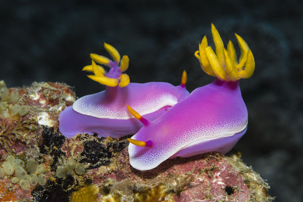 "Nudibranch ""Hypselodoris apolegma"", North Sulawesi, Indonesia"