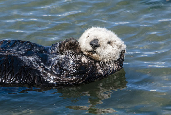 Sea Otter  (Enhydra lutris), Moss Landing, California