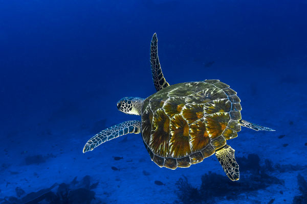 Green Sea Turtle (Chelonia mydas), Raja Ampat, Indonesia