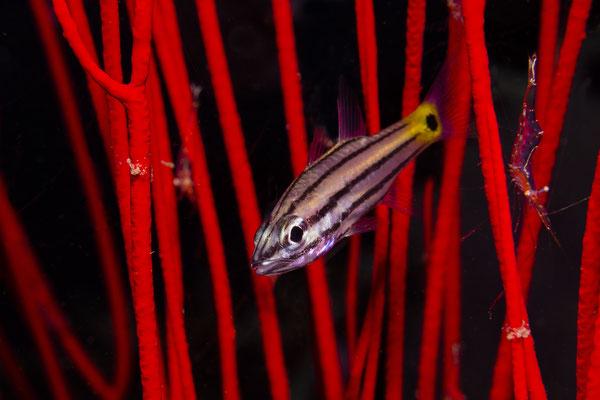 Toothy Cardinalfish (Cheilodipterus isostigmus), Raja Ampat, Indonesia