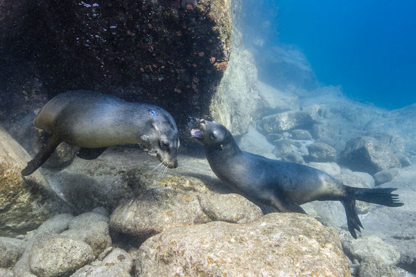 California Sea Lions (Zalophus californianus), Los Islotes, Mexico