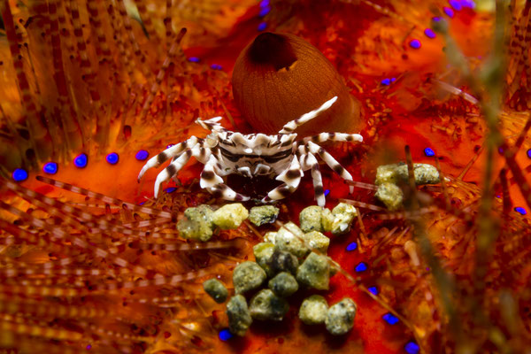 Zebra Crab (Zebrida adamsii), Ambon, Indonesia