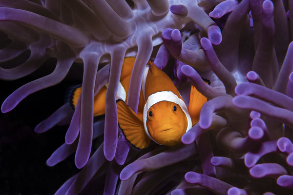 Clownfish (Amphibrion percula), Raja Ampat, Indonesia
