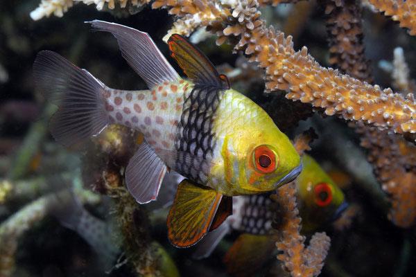 Pajama Cardinalfish ( Sphaeramia nematoptera), Lembeh Strait, Indonesia