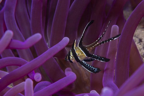 Banggai Cardinalfish (Pterapogon kauderi), Lembeh Strait, Indonesia