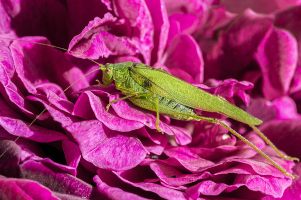 Green Grasshopper, Heidelberg, Germany