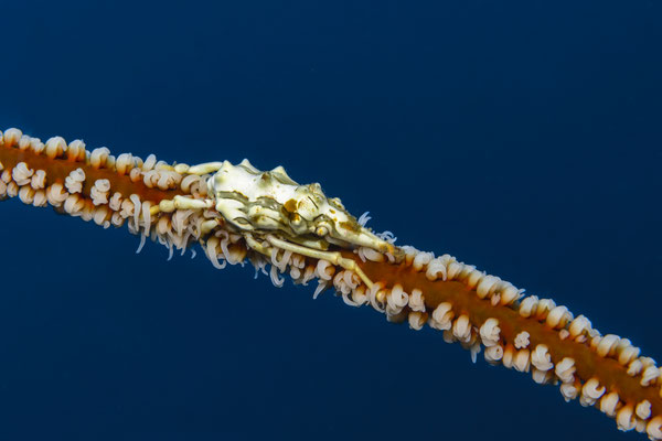 Xeno Crab (Xenocarcinus tuberculatus), Raja Ampat, Indionesia