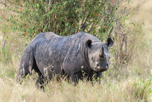 Black Rhinocerus (Biceros bicornis), Masai Mara, Kenya