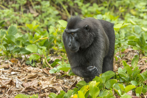 Black crested Macaque (Macaca nigra), North Sulawesi, Indonesia