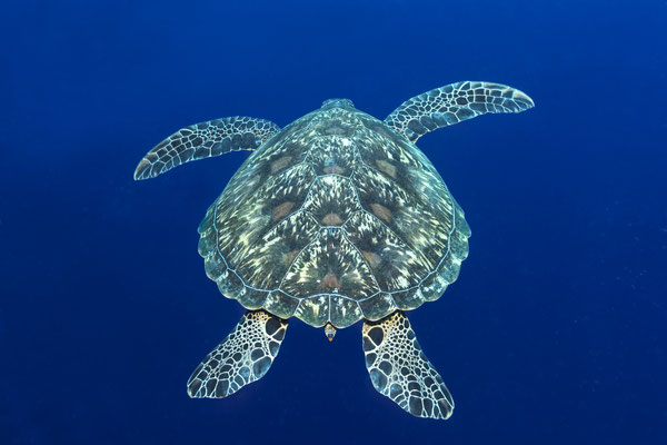 Green Sea Turtle (Chelonia mydas), North Sulawesi, Indonesia