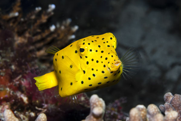 Yellow Boxfish (Ostracion cubicus), Raja Ampat, Indonesia